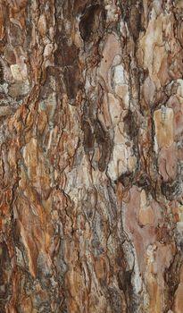 background spruce bark