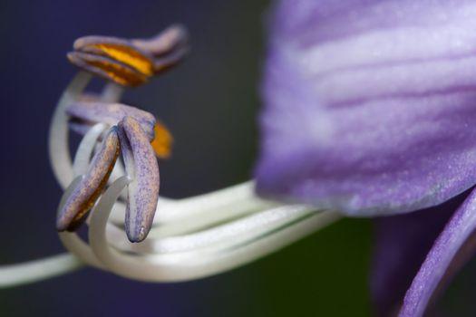 Purple and White Stamen