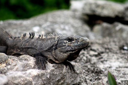 Iguana lying on a bed of rocks sunning it's self