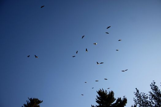 Group of falcons circling in the late afternoon sky