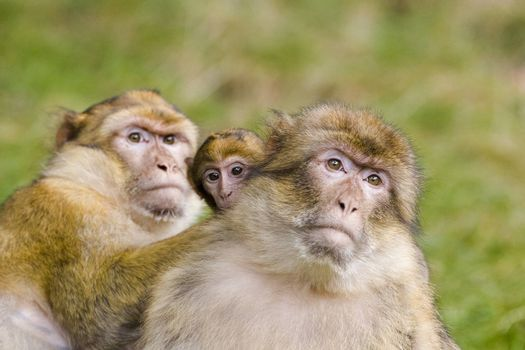 Two barbary apes with baby ape
