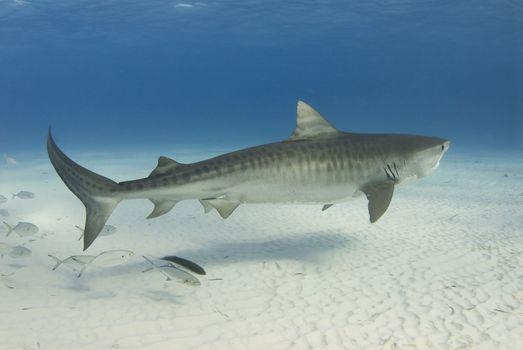 Graceful Tiger Shark
