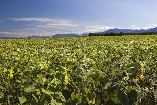 sunflowers field in Provence