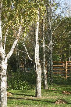 birches by autumn