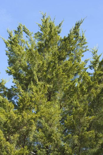 Branches Thuja background green tree