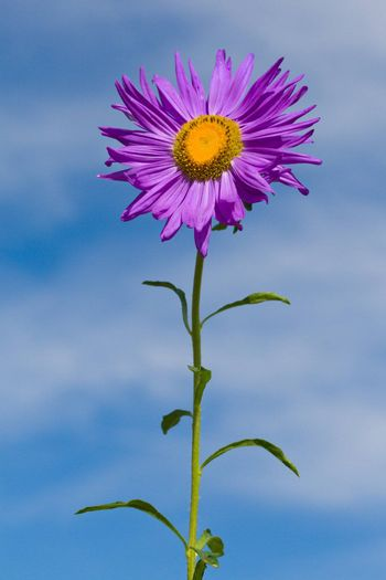 close-up violet aster on the blue sky background