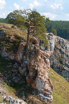 Pine on a rock