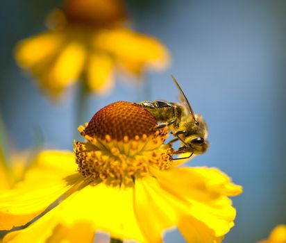 close-up a small bee on the yellow flower