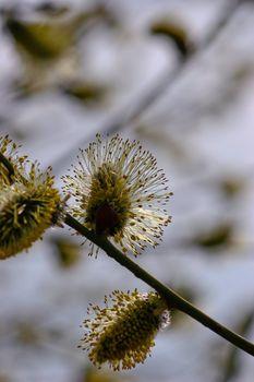 Tree flowers. Caspian willow