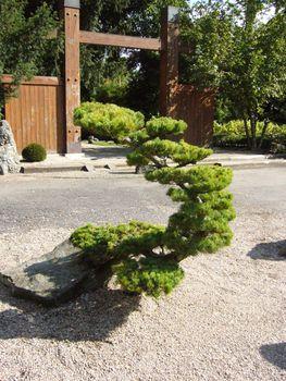 A moon-shaped bonsai tree