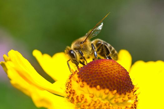 close-up a small bee collect nectar on the yellow flower