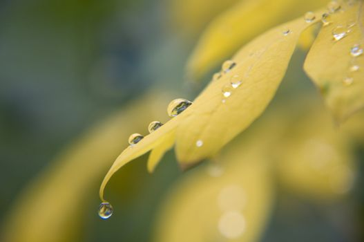 yellow foliage with dewdrops