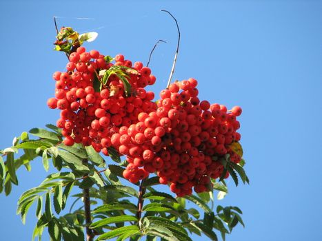 red berry fruits of the european rowan