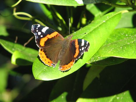 Vanessa atalanta or Red Admiral butterfly