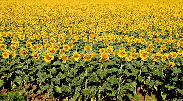 Bright yellow sunflower field. Natural pattern.