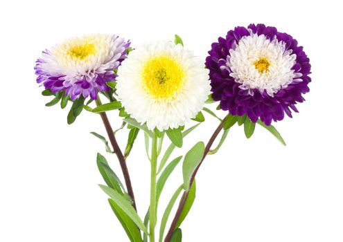 three violet-white aster isolated