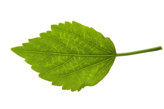 Detail of a leaf blade of a hibiscus