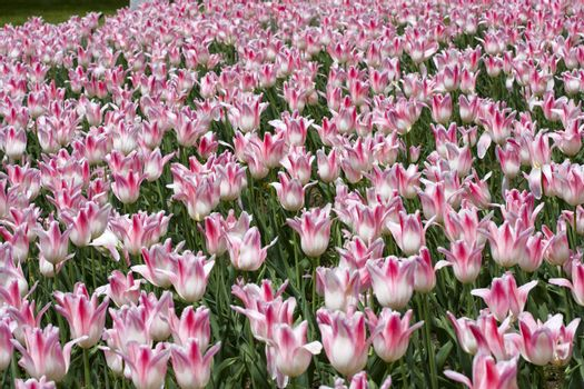 Pink and white tulip garden in springtime