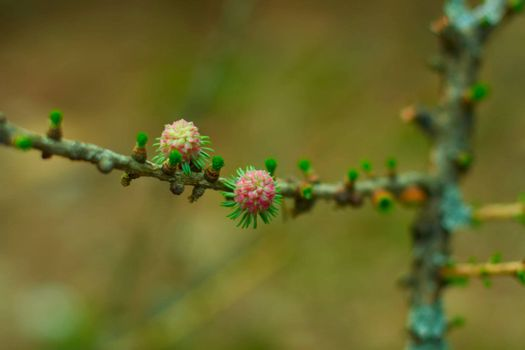 Flowers of the Siberian larch in the spring. Macro