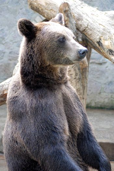 Portrait of a wild bear close up