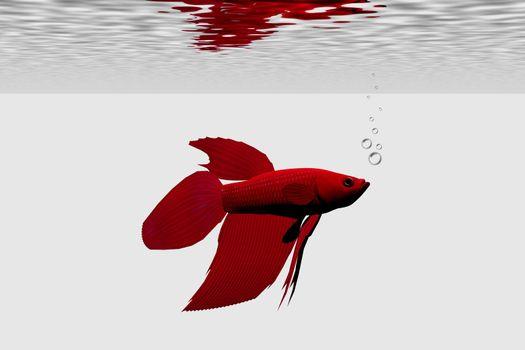 Red betta male aquarium fish.