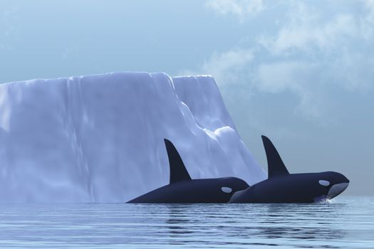 Two Killer Whales swim near an iceberg in the Arctic Ocean.