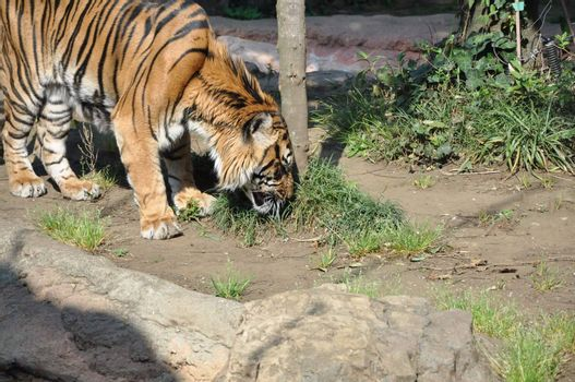 Tiger in Ueno Zoo
