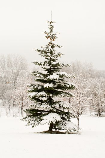 december lonely fir tree covered with snow