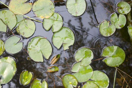 Green lilypads in a small pond.