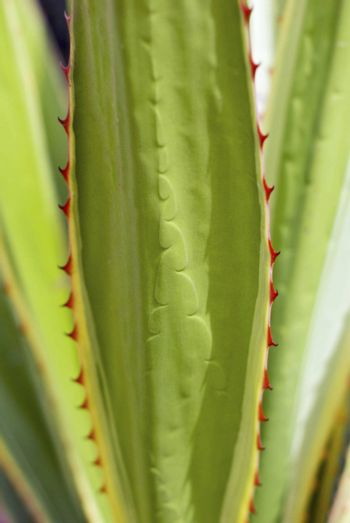 Detail of long leaf cactus plant with red thorns  (cactus phylum, aloe vera family)