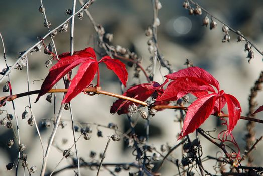 Red leaves on grey dry vegetation background