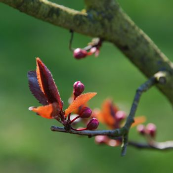 Early spring buds close-up