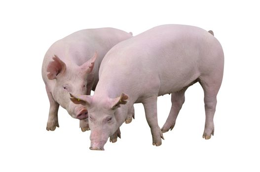 Young pigs breeds Great White isolated on white