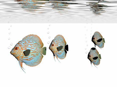 A group of discus fish swim together in an aquarium.