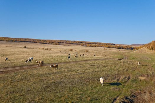 Herd of Grazing Cows on the Autumn Landscape