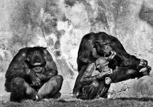chimpanzees  family on a zoo