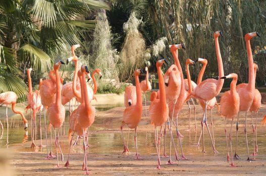 Caribean flamingos on a zoo