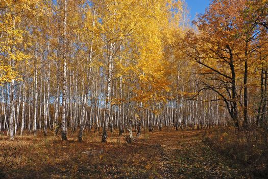The Footpath in the Autumn Birch Grove
