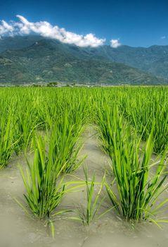 Beautiful farmland of rice in the water