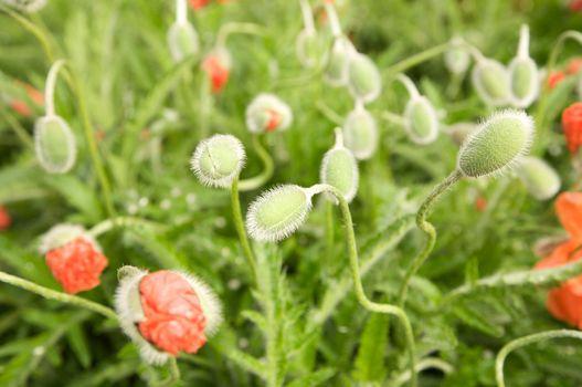 green bud of flowers