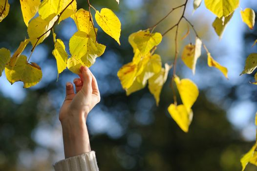 Woman's hand touching yellow leaves