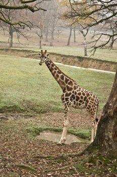 Free giraffe in a zoo