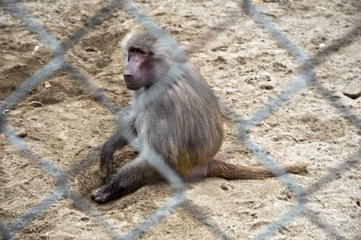 Monkey in a cage at the zoo