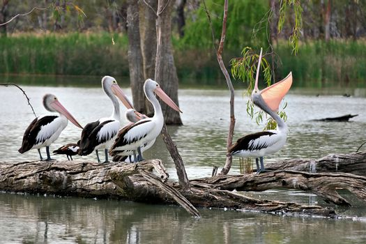 one boastful pelican showing off in front of three mates
