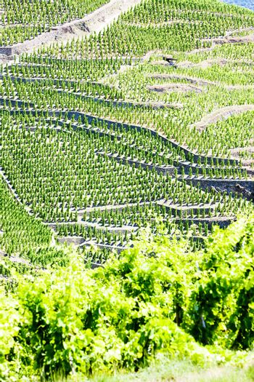 grand cru vineyards, Cote Rotie, Rhone-Alpes, France