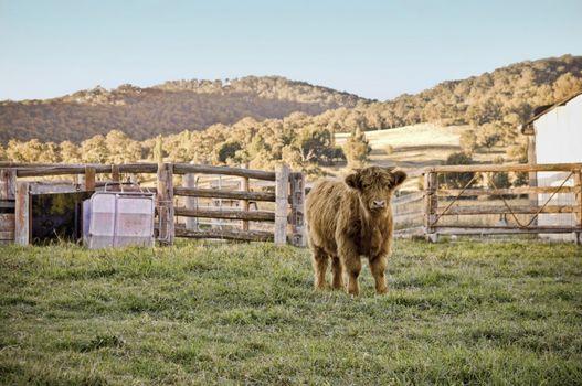 highland cow on the farm
