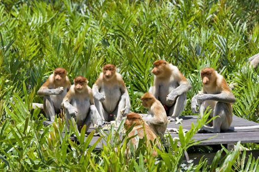 Proboscis monkeys in the mangrove, Kota Kinabalu