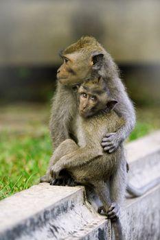 Macaque monkeys in Bali, Indonesia