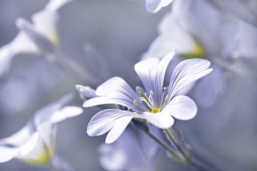 Chickweed flower