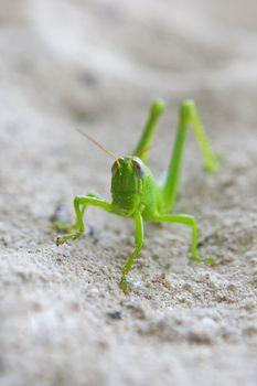 Grasshopper in the sand, Sipadan, Borneo, Malaysia